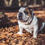 BullDog facts-8 things you should know about the bulldog.