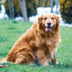 Golden retriever facts-7 things you should know about the Golden retriever.