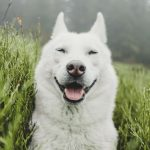 9 Things you need to know about White husky