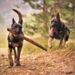 All the things about Brindle german shepherd dogs