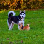 Do huskies get along with small dogs? (Owners guide)
