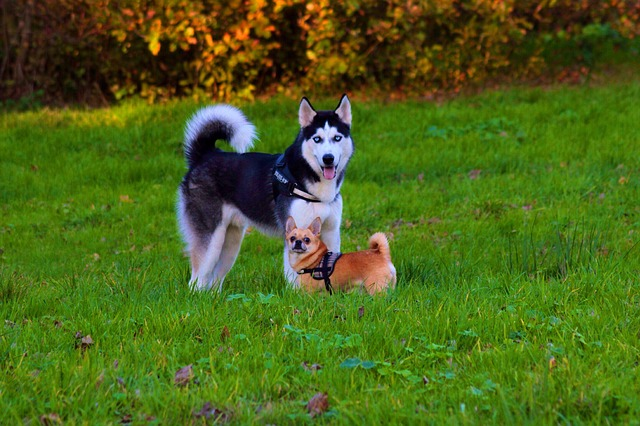 Do huskies get along with small dogs