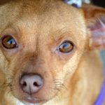 11 reasons why do Chiweenies lick so much