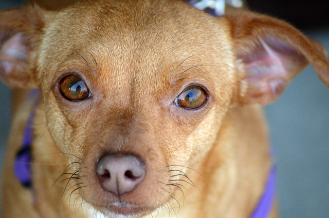 Why do Chiweenies lick so much