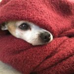 5 reasons why do chihuahuas sleep under covers