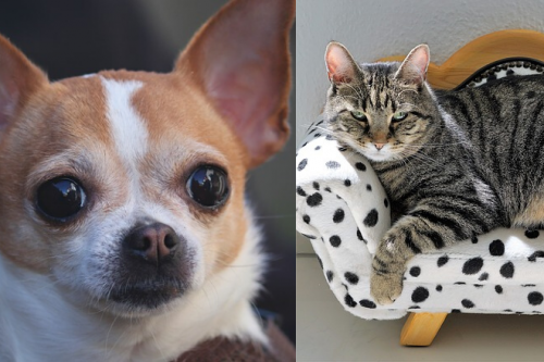 How to introduce a chihuahua to a cat