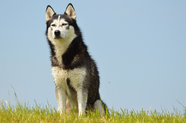 Will Siberian huskies protect their owners