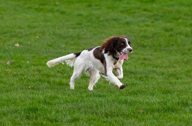 springer spaniel playing in the ground