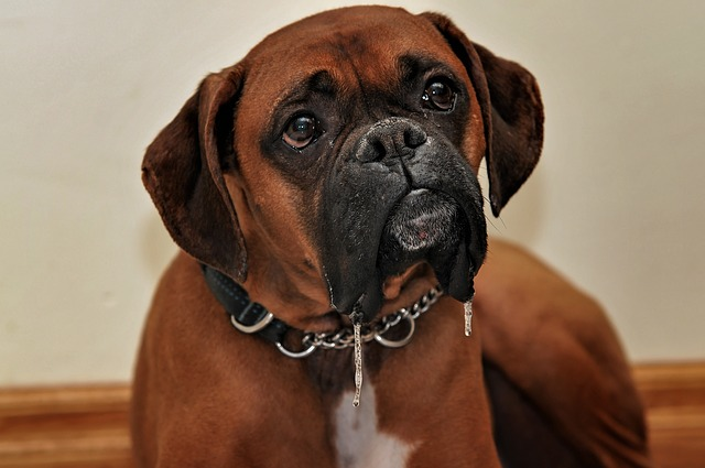 boxers have webbed feet