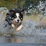 Do border collies have webbed feet? (The hidden truth)