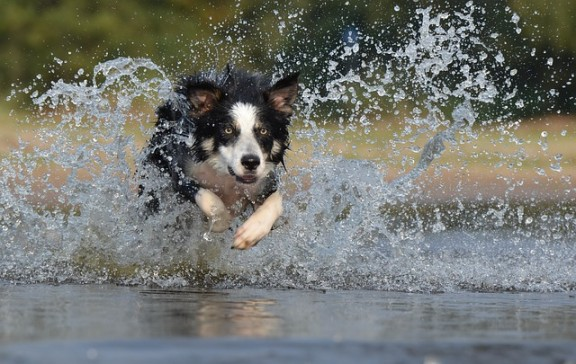 do border collies have webbed feet