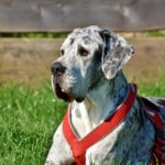 Do great Danes have webbed feet? (The hidden truth)