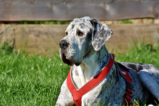 great danes have webbed feet