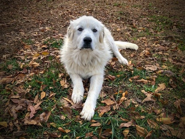 great Pyrenees be left alone