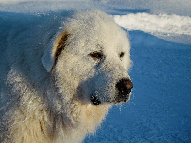 great Pyrenees like to swim