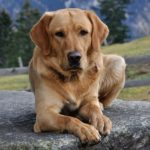 Do labs have webbed feet? (The amazing feature)