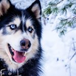 Why do huskies talk?   In-depth review
