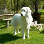 Can great Pyrenees live outside? | in-depth answer