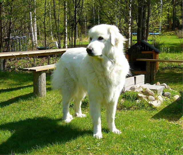 great Pyrenees live outside