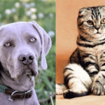 Are Weimaraners good with cats? ( Owners Guide )