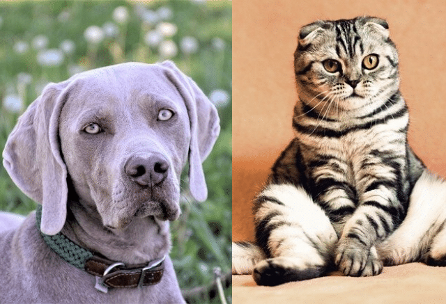Weimaraners good with cats