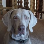 Why are Weimaraners so clingy? (The surprising truth.)
