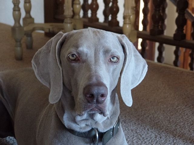 Weimaraners so clingy