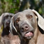 Are Weimaraners dumb? (the surprising truth)