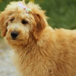 Do Goldendoodles have webbed feet? (The hidden truth)