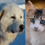 Do great Pyrenees get along with cats? (Owners guide)