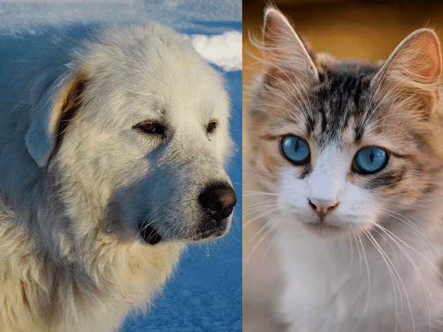 great Pyrenees get along with cat