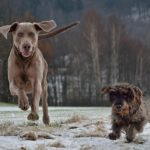 Do Weimaraners get along with other dogs? ( Owners Guide )