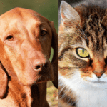 Do vizslas get along with cats? (Owners guide)