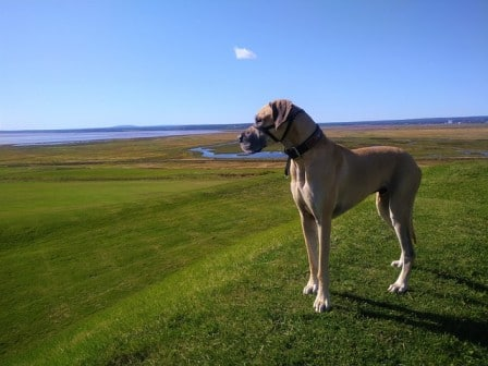 do great danes have webbed feet