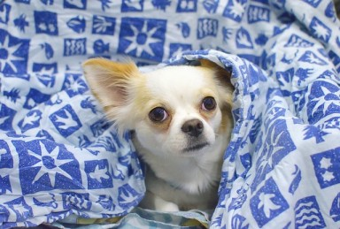 why do chihuahuas sleep under covers