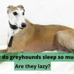Why do greyhounds sleep so much? Are they lazy?