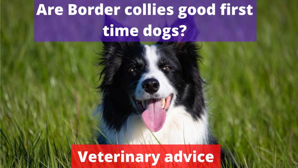 Are Border collies good first time dogs