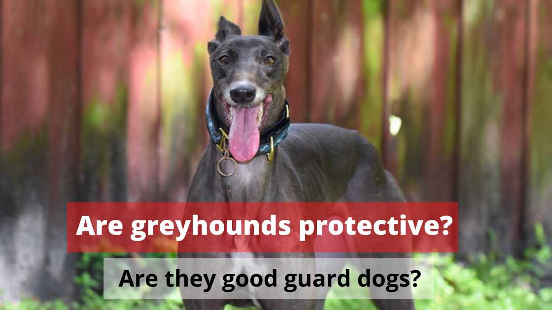 Are greyhounds protective