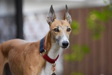 Are greyhounds affectionate