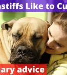 Do mastiffs Like to Cuddle? [Veterinary advice]