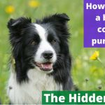 How to tell if a border collie is purebred? [Hidden truth]
