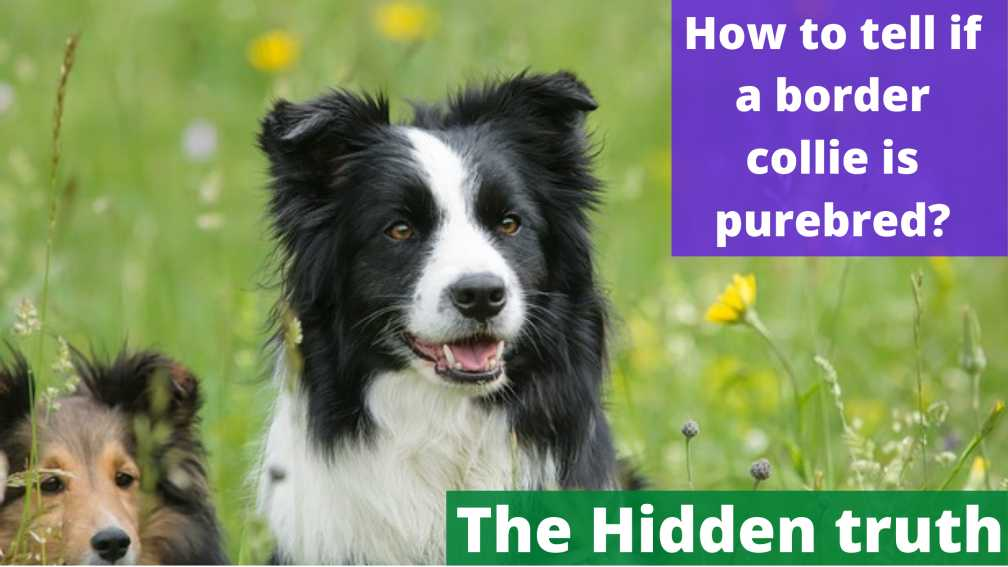 How to tell if a border collie is purebred