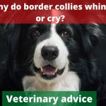 Why do border collies whine or cry? [Vet advise]