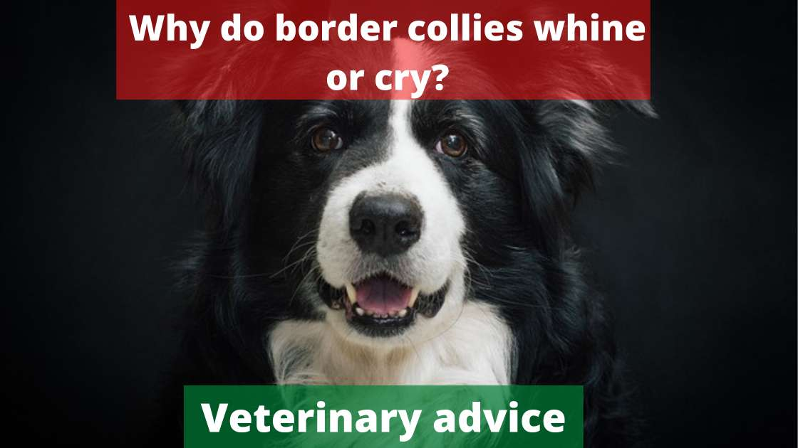 Why do border collies whine