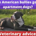 Are American bullies good apartment dogs? [Vet advice]