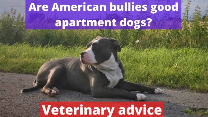 Are American bullies good apartment dogs