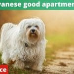 Are Havanese good apartment dogs? [vet advice]
