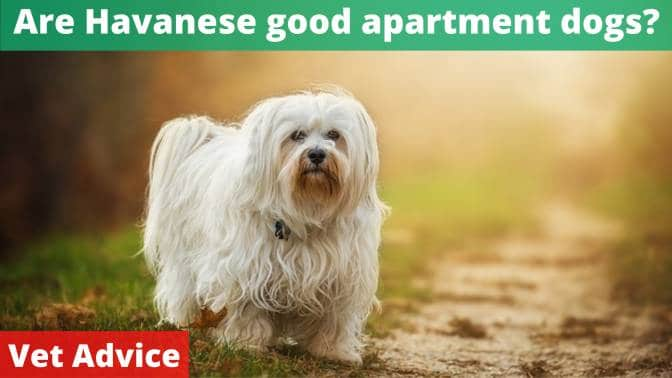 Are Havanese good apartment dogs