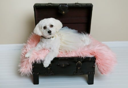 havanese dog on the chair