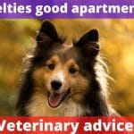 Are Shelties good apartment dogs? [Veterinary advice]
